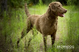 Chesapeake Bay Retriever: CoolWaters Sea Nymph - &quot;Trixie&quot;