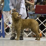 New AKC Champion! CH CoolWater&#8217;s RipTide aka &#8220;Rip&#8221;