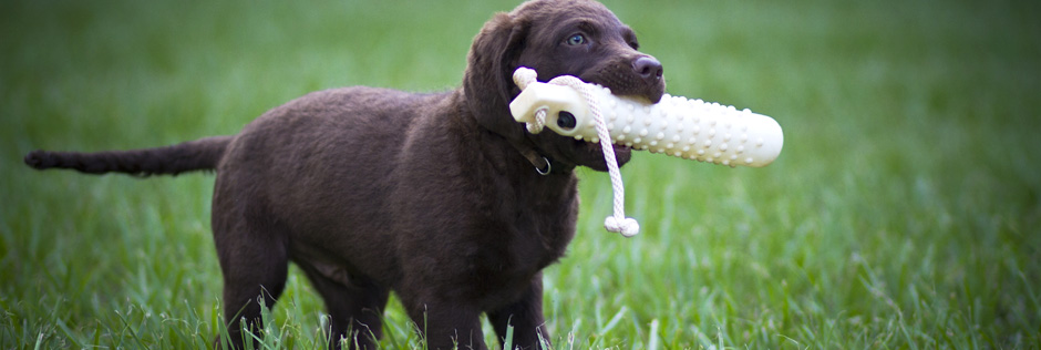 chesapeake-bay-retriever-puppy1
