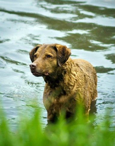 Jessie a Chesapeake Bay Retriever