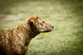 Jessie the Chesapeake Bay Retriever