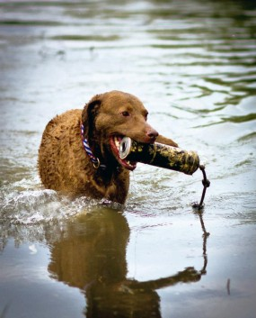 Morgan a Chesapeake Bay Retriever