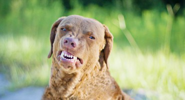 Chesapeake Bay Retriever Smile
