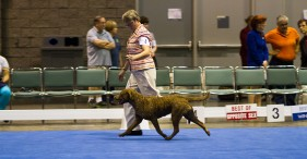 "Bronze GCh Ch CoolWater's The Tide Is High - ""Jesse"""